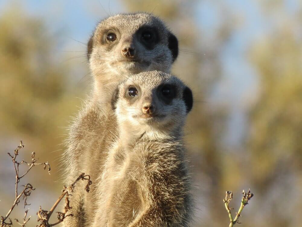 Two meercats in South Africa  on a walking safari