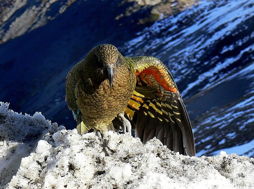 Kea mountain parrot in New Zealand