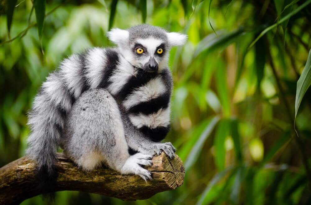 A golden-eyed lemur in Madagascar