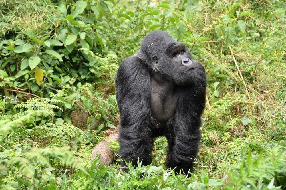 A silverback mountain gorilla in the forest of Rwanda