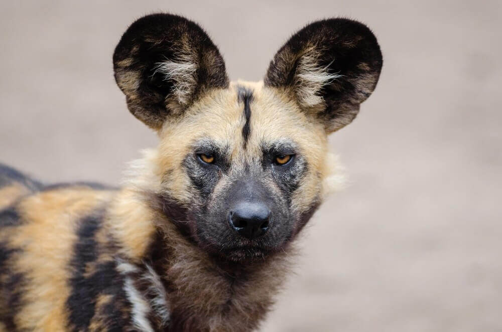 A close up of an African wild dog