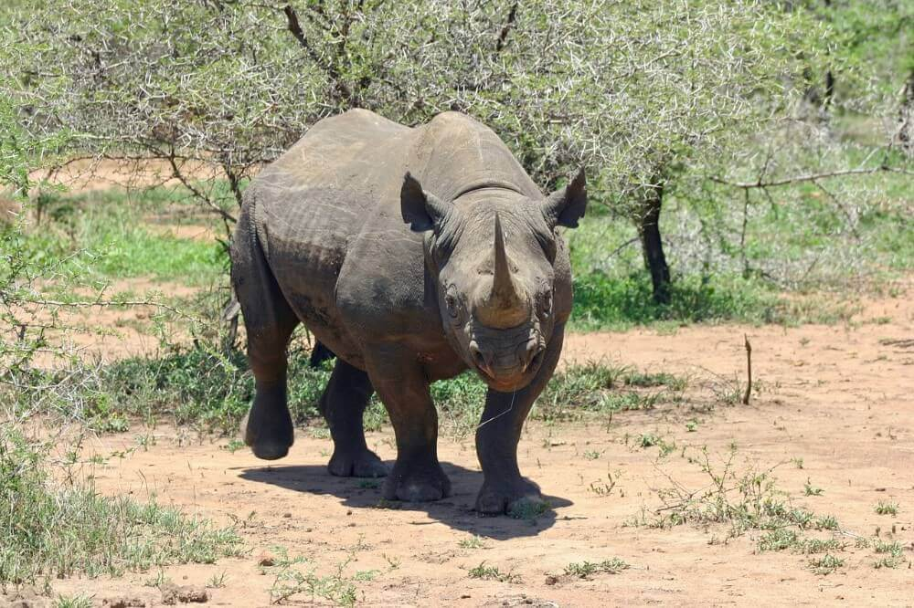 black rhinoceros walking through bushland