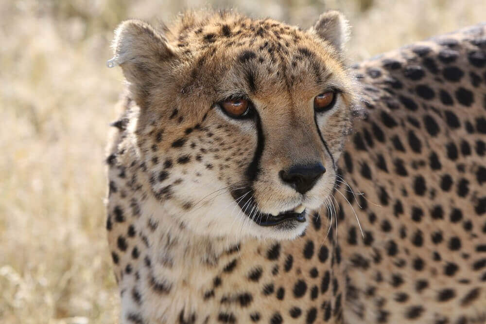 close up of a cheetah face