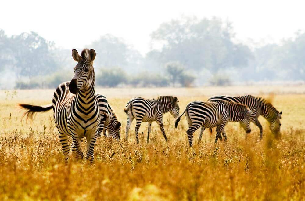 herd of crawshay's zebras grazing in the golden grasslands