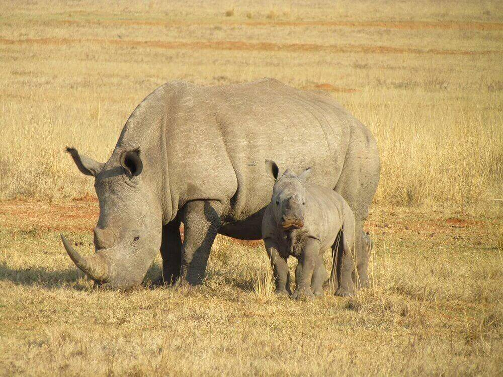 white rhinoceros and her baby grazing in grasslands