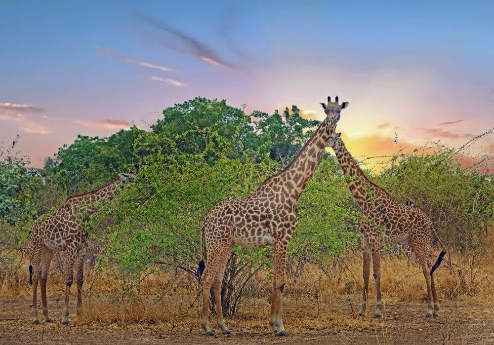 three thornicroft's giraffes with a sunset backdrop