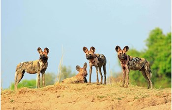 group of African wild dogs in Zambia