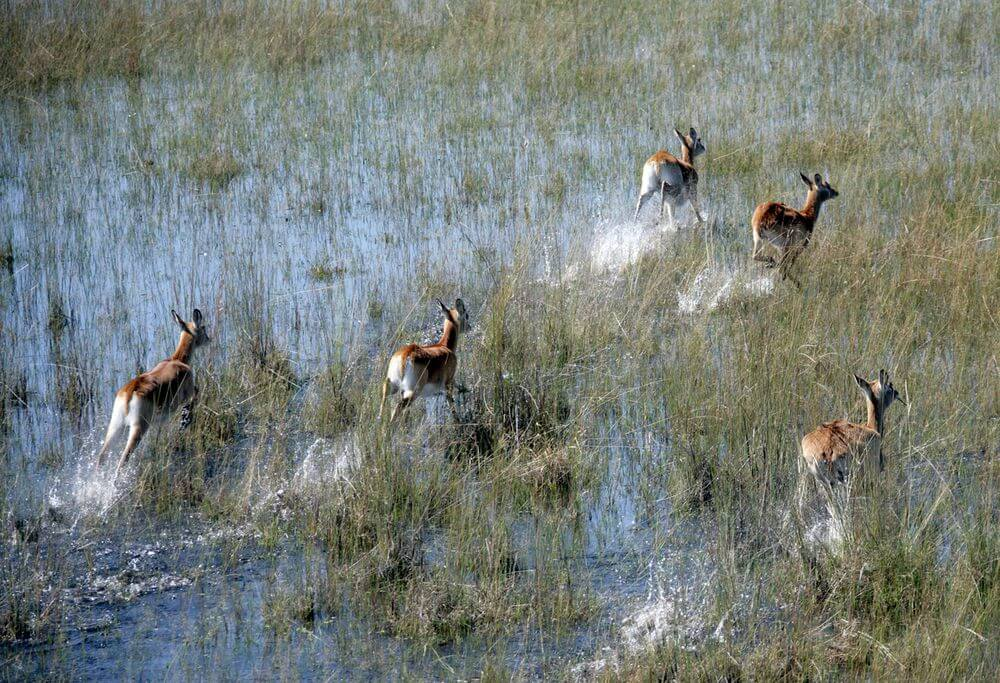 herd of lechwe leaping through floodplains