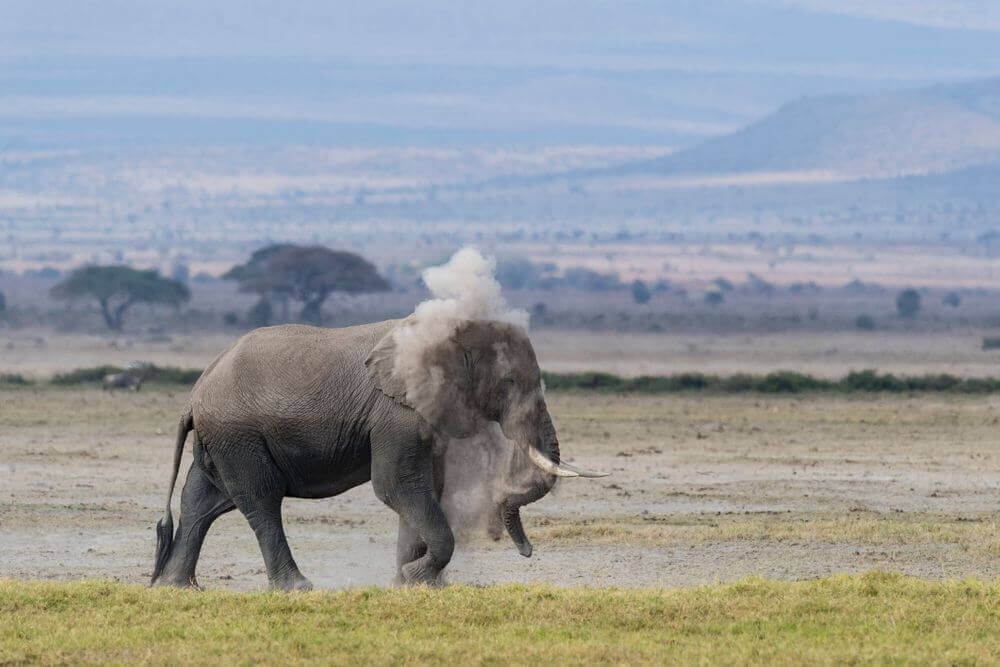 elephant having a dust bath in Kenya