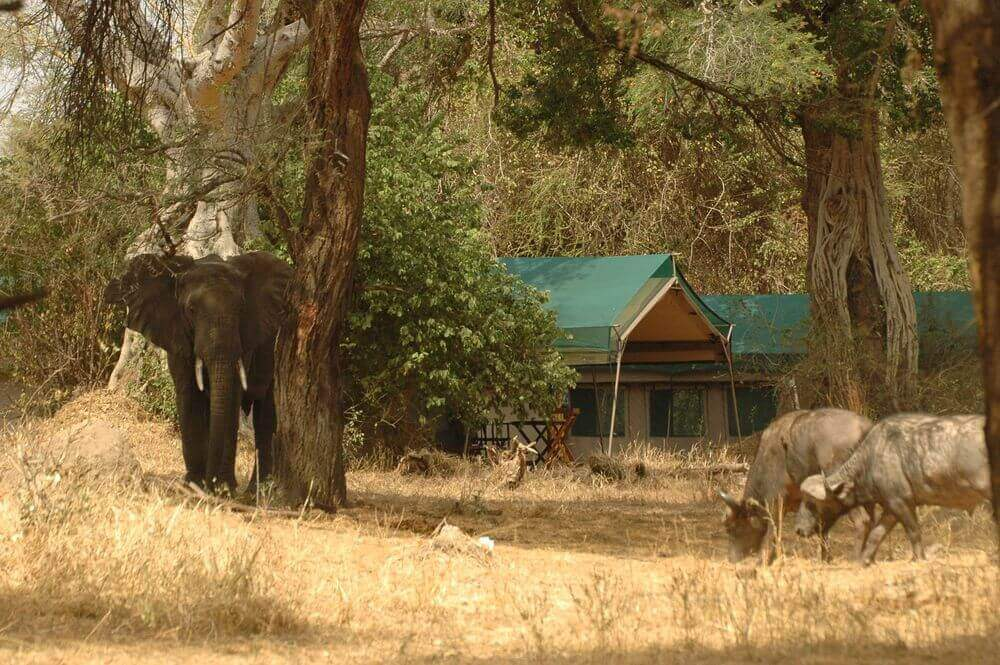 elephant standing beneath the trees of mdonya old river camp tanzania