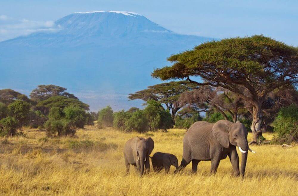elephant family in the grasslands with mount kilimanjaro in the background