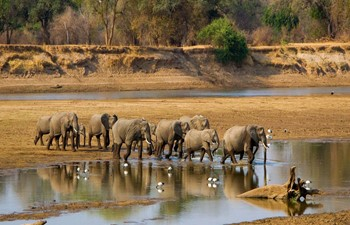 herd of elephants crossing a river in Zambia