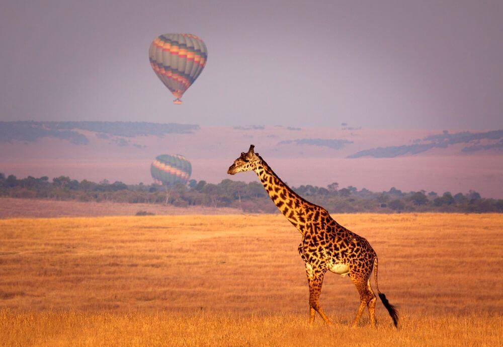 giraffe walking through golden plains of Kenya with hot air balloons in the background