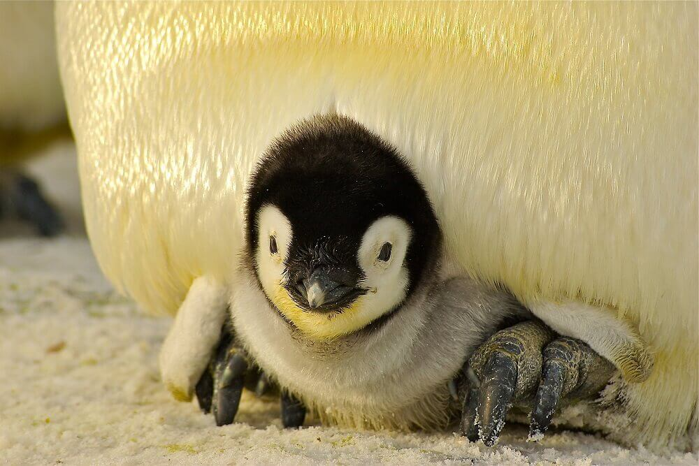 Penguin chick keeping warm in Antarctica