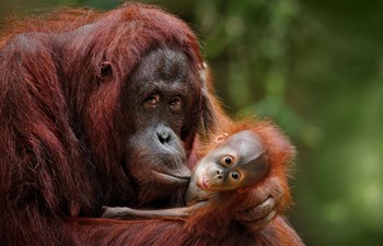 Mother holds baby Orangutan in Borneo, Malaysia