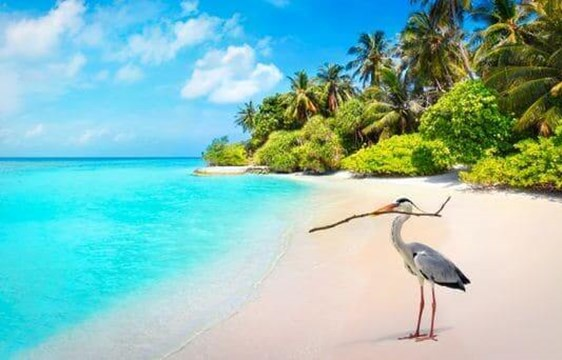 grey heron bird on a palm fringed beach in the maldives