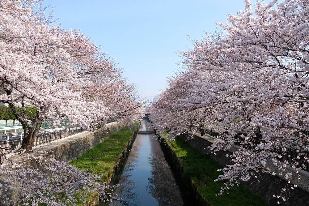 River flanked by cherry blossom trees in bloom during Japan's sakura season