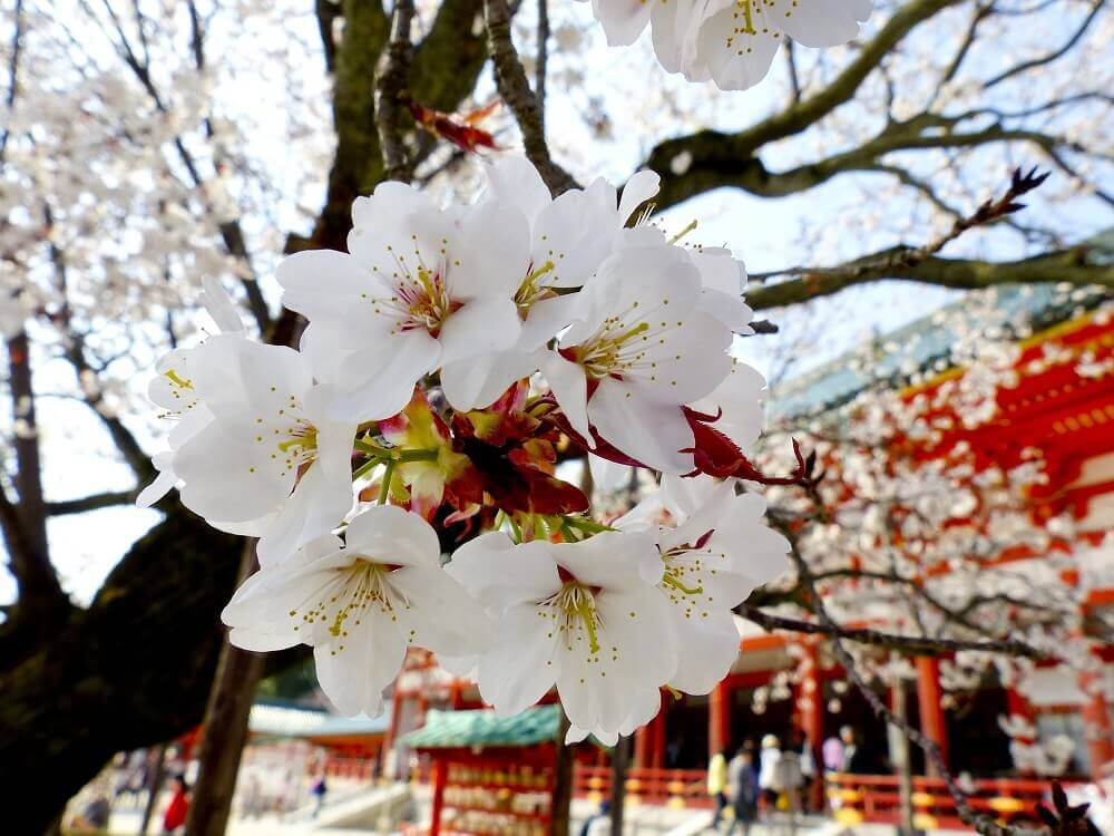 Sakura blooms at a temple during cherry blossom season in Japan