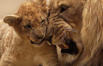 A Lion Cub and Male Lion Growling and Playing like The Lion King