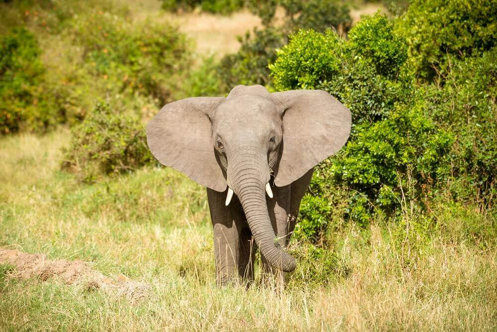 Bull elephant on safari - Rachel Sinclair photography