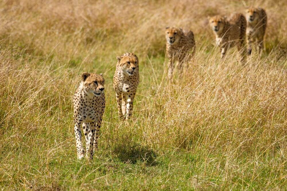 Cheetahs - Rachel Sinclair photography