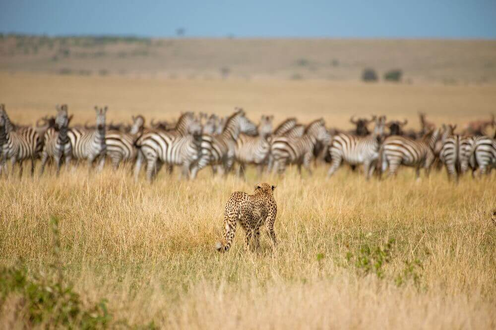 Cheetah hunting zebra on safari - Rachel Sinclair photography