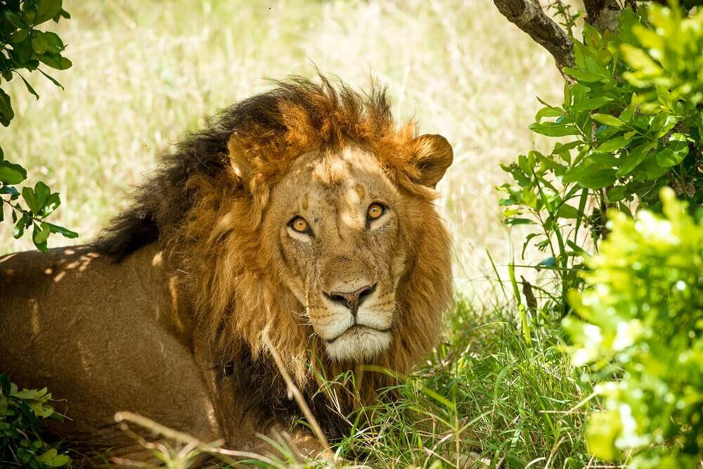 Male lion under a tree on safari - Rachel Sinclair photography