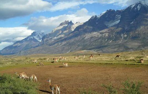 herd of guanacoes roaming the Patagonian mountains, Chile