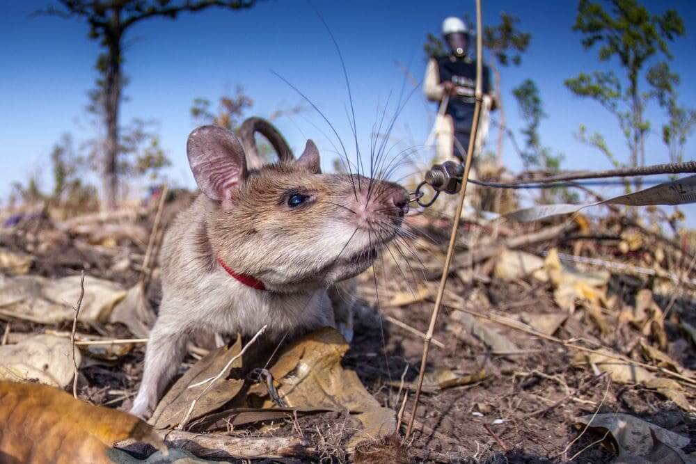 close up of a giant rat in the field detecting landmines for APOPO