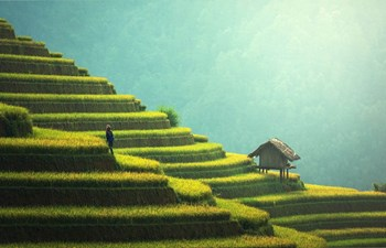 vibrant green rice field terraces in Mu Chang Chai, northern Vietnam