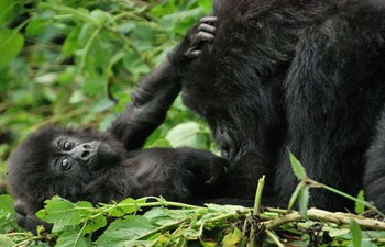 baby mountain gorilla in the arms of his mother in the forest of rwanda