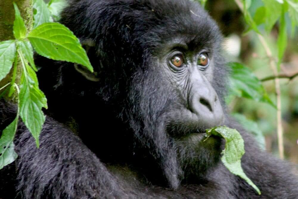 close up shot of a mountain gorilla munching on a leaf in rwanda