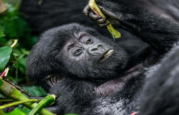 baby mountain gorilla in the arms of his mother in the forest of bwindi national park