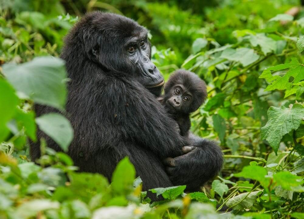 wild mountain gorilla mother and baby in bwindi impenetrable national park, uganda