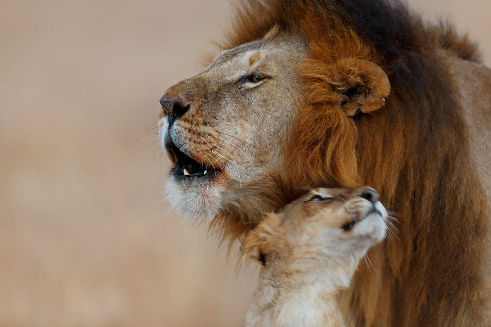 lioness and baby lion in the masai mara, kenya