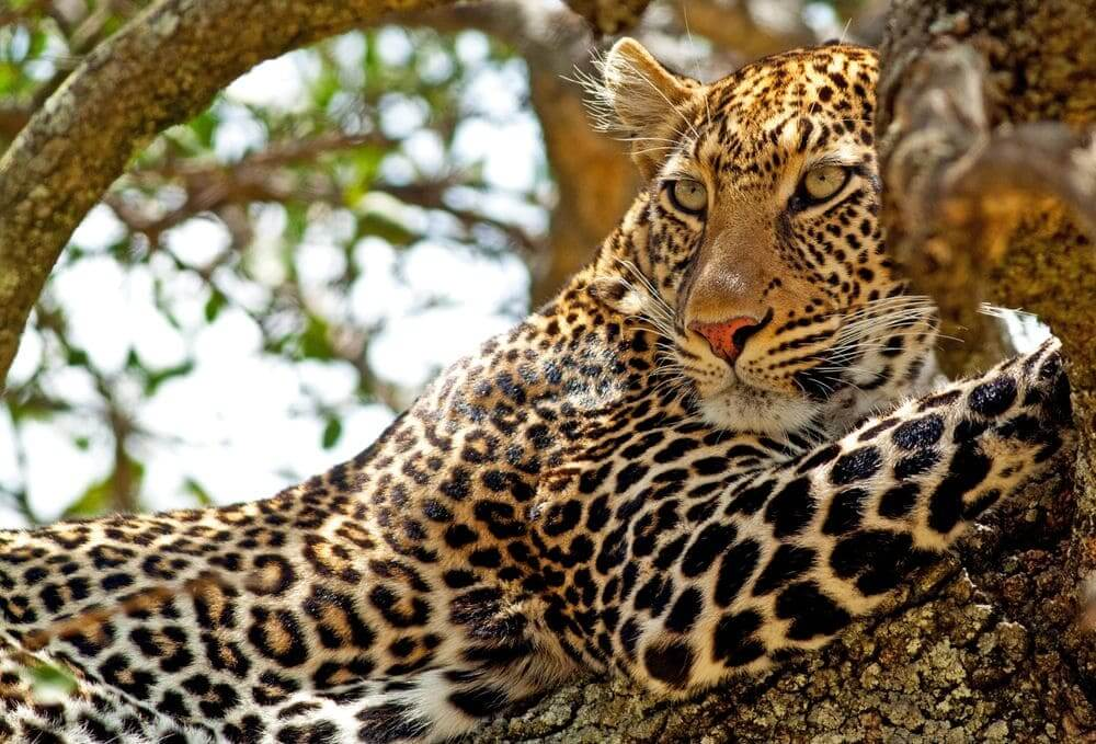 leopard in a tree in the masai mara, kenya