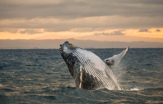 humpback whale breaching the ocean at sunset in Madagascar