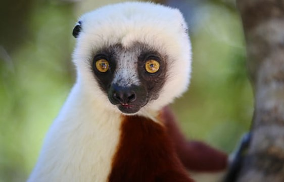 wide eyed lemur in Andasibe Mantadia National Park in Madagascar