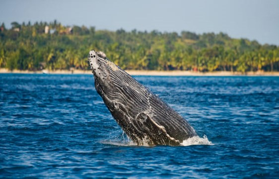 humpback whale breaching in the ocean around Madagascar